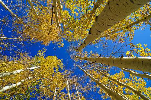 Aspens on the North Rim of the Grand Canyon.