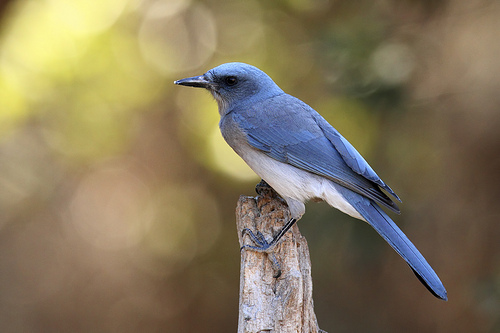 A Mexican Jay spotted in Madera Canyon.